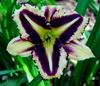 Купить лилейник PICOTEE PRISM
