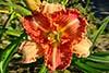 Купить лилейник Оранжевый _ 21268