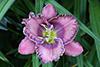 Купить лилейник Фиолетовый _ 12002