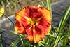 Купить лилейник Оранжевый _ 13155