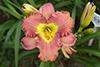 Купить лилейник Розовый _ 14418