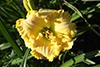 Купить лилейник Жёлтый _ 14491
