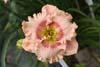 Купить лилейник Розовый МАЛИНОВЫЙ ЙОГУРТ