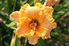 Купить лилейник Оранжевый ХИТРЫЙ ЛИС