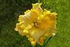 Купить лилейник Желтый ЗОЛОТО ИНКОВ