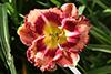 Купить лилейник Розовый РОЗОВЫЕ ОЧКИ