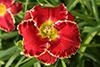 Купить лилейник Красный АЛЫЕ ПАРУСА