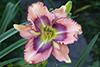 Купить лилейник Розовый РАПСОДИЯ ЛЮБВИ
